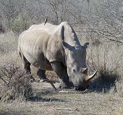 Hlane National Park - White Rhino (Globetreka) Tags: southafrica rhino wildanimals whiterhino visittheworldthetravelguide flickaward mygearandme ringexcellence blinkagain krugerntionalpark