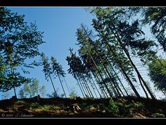 Schiefe Bume (Sebastian.Schneider) Tags: trees tree nature forest germany landscape deutschland scenery hessen outdoor country natur scene land landschaft wald bume baum mittelgebirge ldk lahndillkreis lahndill