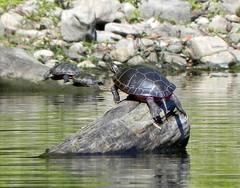 Parc de la Rivière-des-Mille-Îles, 11 September 2011, turtles