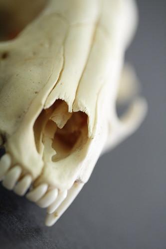 Racoon Skull