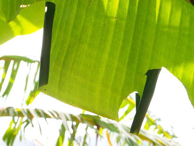 香蕉挵蝶幼蟲的蟲巢