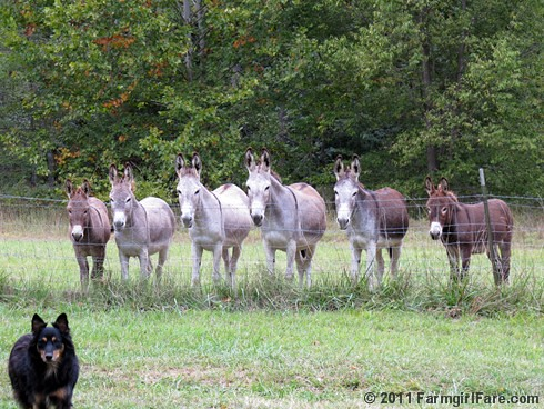 Unsmiling donkeys waiting for treats 1 - FarmgirlFare.com