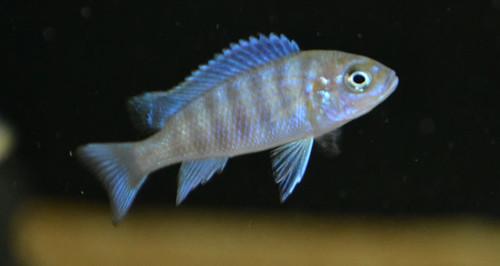 Metriaclima sp. 'zebra chilumba' Maison Reef