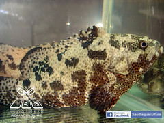 GC SA 02 (saudiaquaculture) Tags: fish farming culture center since  has 1990   grouper     succeeded    1990     epolyphekadion