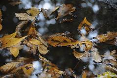 Herfst (=Mirjam=) Tags: november autumn herfst bruin plassen bladeren 2011 nikond300s
