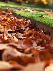 crunchy (Johnson Cameraface) Tags: november autumn macro 50mm leaf derbyshire peakdistrict olympus litter f2 zuiko chatsworthhouse 2011 zd e620
