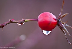 Crying rosehip (Gry Monica) Tags: autumn red macro nature water waterdrop forrest natur drop skog rd vann rosehip