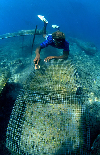 Giant clam cage cleaning, Solomon Islands. Photo by Mike McCoy, 2001
