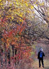 őszi séta / autumn walk (debreczeniemoke) Tags: autumn fall forest colorful walk transylvania transilvania pathway baiamare erdély ősz erdő séta ösvény nagybánya színes canonpowershotsx20is