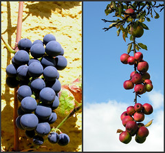 Umbels (:Linda:) Tags: apple fruit germany vine thuringia grape apfel obst weinrebe umbel similarto resembling ähnlich grapelike likeagrape bluefruit