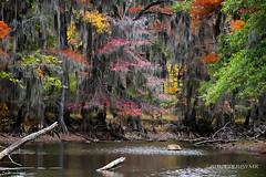 Backwater Autumn (ShutterByMe) Tags: autumn lake fall river texas fallcolors tx logs foliage bayou swamp spanishmoss cypress cypresstrees caddolake bigcypressbayou karnacktexas