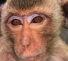 THAILAND , Lopburi , Javaneraffen-Portrait  - 94 (roba66) Tags: travel animal animals thailand monkey tiere asia asien urlaub explore thai ape baboon creature primate apes tier lopburi affe eastasia specanimal javane