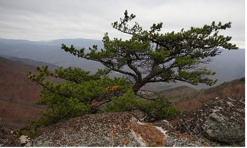 stunted-pine