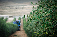 Cosechadora al fondo (Grupo Caparrós) Tags: españa sol de cabo natural oil grupo oliva almeria parte oro aceituna pérez fernán portocarrero caparros níjar gatanijar