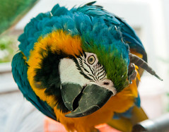 Blue & Yellow Macaw (HowiePoon) Tags: blue color colour bird animal yellow garden hongkong nikon asia 1755mmf28g nikkor macaw mongkok vr araararauna birdgarden d300 blueandyellowmacaw yuenpostreet yuenpo
