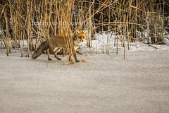 Vulpes vulpes (Tommaso Innocenzi) Tags: winter ice nature natura fox mammals acqua inverno palude ghiaccio volpe vulpesvulpes foligno colfiorito mammiferi parcoregionaledicolfiorito tommasoinnocenzi