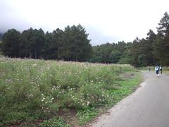 4A黒姫高原を出てすぐのコスモス畑