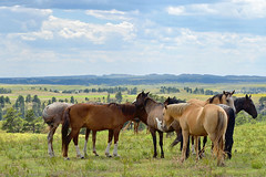 Mustang Life * (wellscenephotography (ON)) Tags: family blue summer sky horses sunlight mountains green fall nature beautiful animals clouds southdakota landscape photo nikon october warm mood quiet natural image band scenic picture gap peaceful pasture photograph nikkor senery tranquil openrange mustangs familygroup 70300 2011 d5100 090511 alchristensen wellscenephotography gap201110 gapreview gapreview001 gapselected