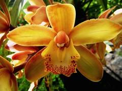 Orquidea por TeresalaLoba (TeresalaLoba) Tags: orchid spain galicia orchidaceae orquidea biodiversity calvario biodiversidad yelloworchid baixomio orosal orquideaamarilla sanmigueldetabagn teresalaloba fincaquitapesares cymbidiumspp