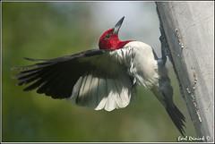 "Red-headed Woodpecker (20110714-0802) (Earl Reinink) Tags: travel red ontario canada bird art nature birds photography landscapes woodpecker nikon flickr canadian niagara earl bif ""bird ""nikon ""niagara photography"" ""birds ""nature ontario"" ""landscape ""fine ""earl peninsula"" flight"" lenses"" ""travel ""redheaded woodpecker"" d3"" d3s"" reinink"""