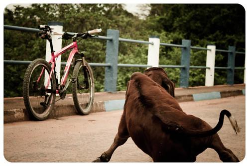O bezerro e a bike