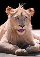 [Free Images] Animals 1, Lions, White Lion ID:201110141200