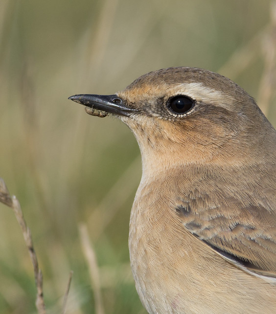 wheatear with weevil on beak afternoon 300mm 4