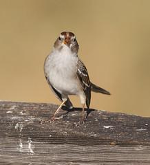 White-crowned Sparrow 8 (Darin Ziegler) Tags: urban nikon colorado year young first feeder coloradosprings juvenile d300 whitecrownedsparrow zonotrichialeucophrys darinziegler afsteleconvertertc20eiii afsvriinikkor300mmf28gifed