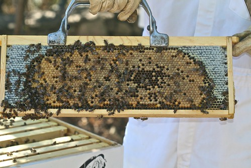Beautiful Frame of Brood and Honey