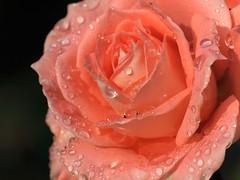 PA078965 (focus.finder) Tags: rose natur blumen regen wetter wassertropfen tropfen nass regentropfen blute witterung bluhen blutenblatter
