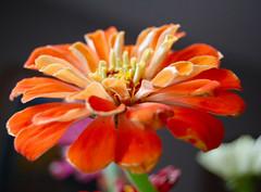 last of the zinnias (JustyCinMD) Tags: fall zinnias poppytalk