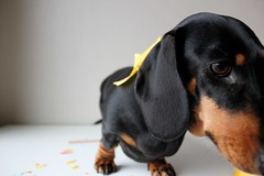 Death by Doxie x Giveaway (ejorpin) Tags: cute yellow nose miniature hound dachshund wiener shorthair ribbon paws weiner doxie sausagedog elfi blacktan