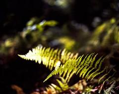 The Green Light (Dr. RawheaD) Tags: new white mountains fern green dof pentax takumar bokeh super hampshire smc 67ii 105mm f24