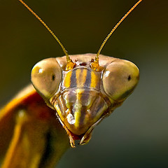 mantis face (wplynn) Tags: bug mantis insect indianapolis alien praying indiana predator carnivore