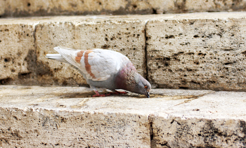Perugia: Monsieur Pigeon Chocolat...
