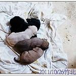 『竹北收容所』1026,米格魯帶子、母帶子、拉拉、似秋田、混狐狸博美、梗、米克斯、超多幼犬、貓、20111028 thumbnail