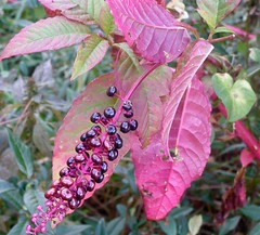 Pokeweed (Melinda ....) Tags: pink autumn wild birds ink nc weed berry colorful purple historic dye botany wildflower pokeberry 2011 pokeweed phytolaccaamericana melystu