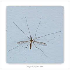 Long legs climbing up a door (Alfredo Barros G  ) Tags: door bug wings puerta panasonic patas alas insecto dmcfz45