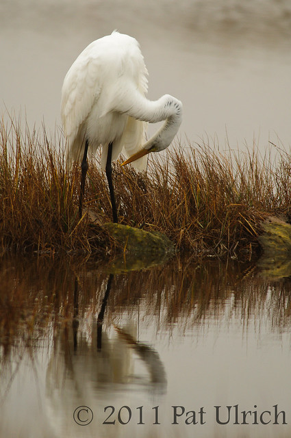Preening egret, reflected
