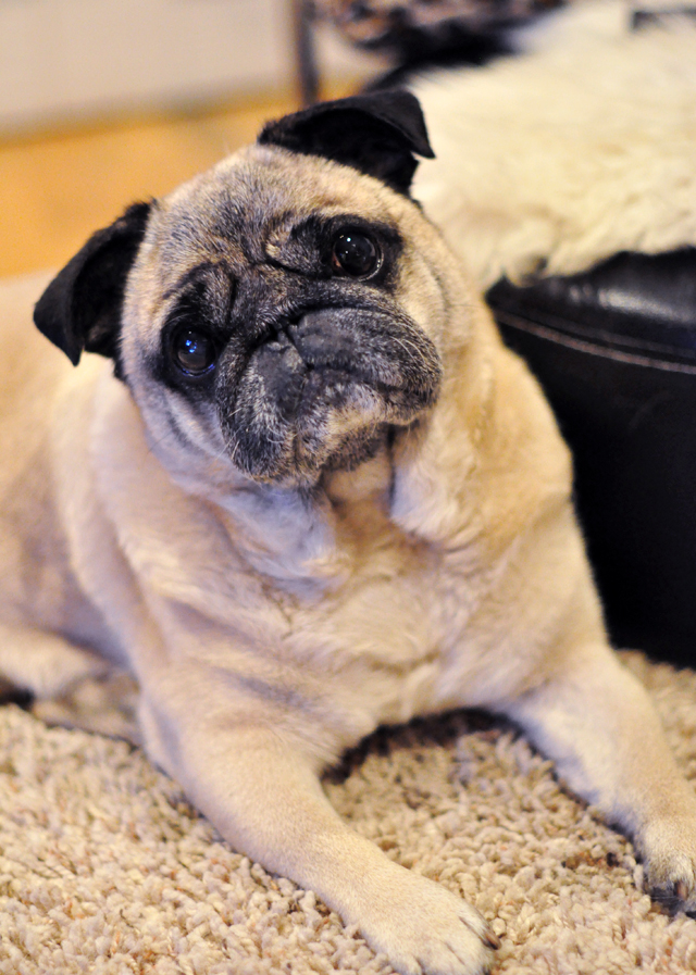 pug dog tilted head