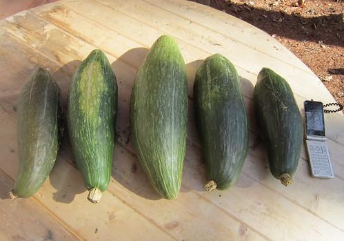 収穫したカボチャ・ながちゃん 2011年11月2日 by Poran111