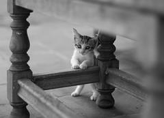 Pequeo negrino II (dhammza) Tags: bw byn blancoynegro cat blackwhite little bn gato pequeo pequeonegrino
