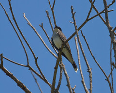 Eastern Kingbird Photo