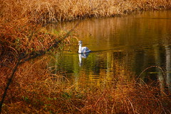 Reflections on the golden pond! (ineedathis) Tags: autumn newyork bird nature water colors reflections swan pond huntington longisland avian coldspringharbor nikond80
