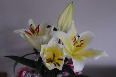 Pretty White Lilies (GE Cox) Tags: flowers garden lily lilies stamen stigma filament whitelily tepal gynoecium