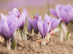 Fior di Zafferano (Isabella Pirastu) Tags: san crocus monreale sativus zafferano gavino fantasticflower blinkagain