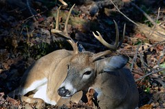 Sleepy Buck (Astral Will) Tags: autumn critter sleepy angry buck pissedoff rut