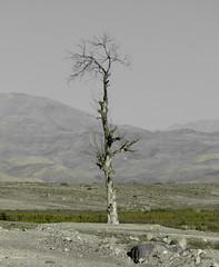En medio de la nada (Nela_CroRose) Tags: tree arbol desert atacama desierto ramas arbolseco