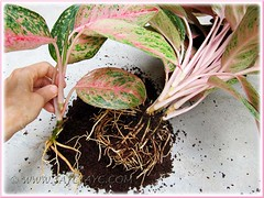 Aglaonema 'Miss Thailand' - propagating by separating a plant from the clump, Oct 15 2011
