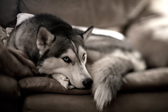 Kona (freelensed) (Aaron W | http://law-photography.com) Tags: dog classic canon husky relaxing 5d siberian 18 85 kona huskie animalportrait freelens freelensing freelensed